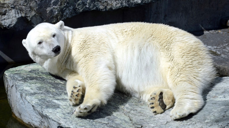Eisbär | © pixabay Schlaup CC0