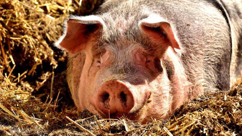 Schwein | © pixabay/Alexas Fotos CCO