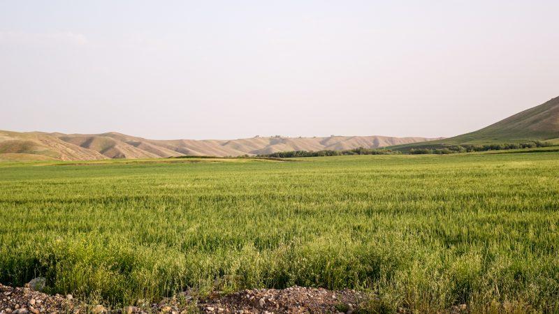 Champs d'orge dans la plaine de Ninive, au nord de l'Irak,  au printemps (photo Maurice Page)