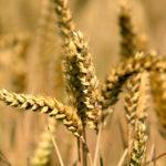 """Si le grain de blé tombé en terre ne meurt pas, il reste seul"". Jn 12, 24. | Flickr/Random_fotos/<a href=""https://creativecommons.org/licenses/by-sa/2.0/legalcode"" target=""_blank"">CC BY-SA 2.0</a>"