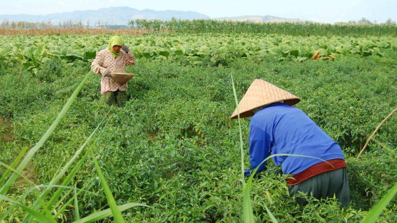 Grâce à l'agriculture biologique, les paysans de Ruteng ont grandement amélioré leurs rendements (Photo d'illustration:Ikhlasul Amal/Flickr/CC BY-NC 2.0)