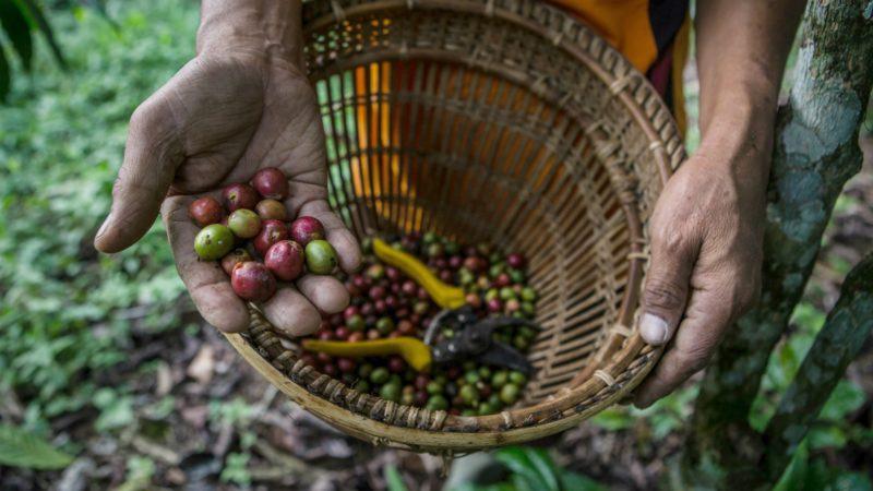 Le Père Kristoforus encourage ses paroissiens à cultiver du café | Photo d'illustration © CIFOR/Flickr/CC BY-NC-ND 2.0