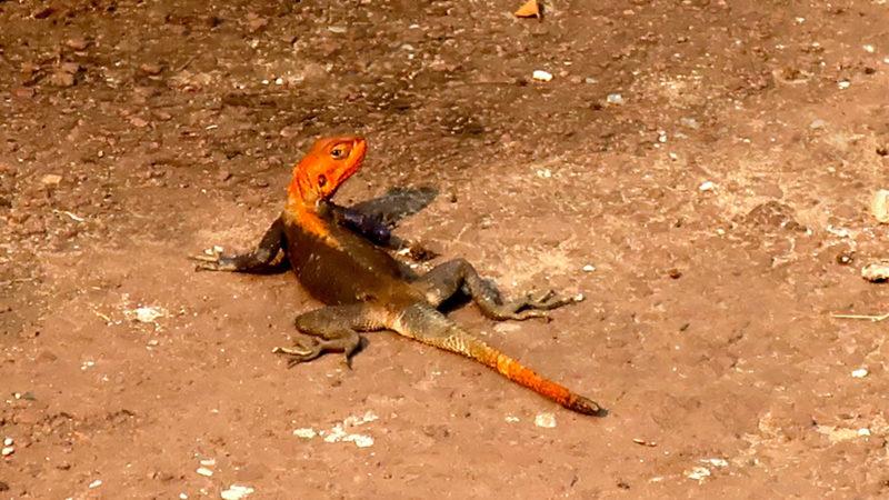 Les reptiles actuels ne sont pas les descendants des dinosaures | © Guy Luisier